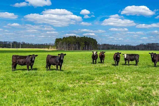 Farm-Cows